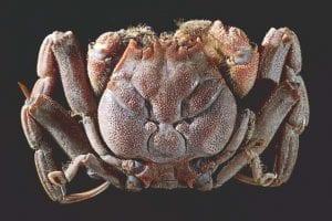 Heikegani crab